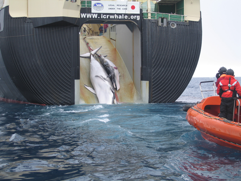 The Japanese Government kills a whale in the Sea of Australia